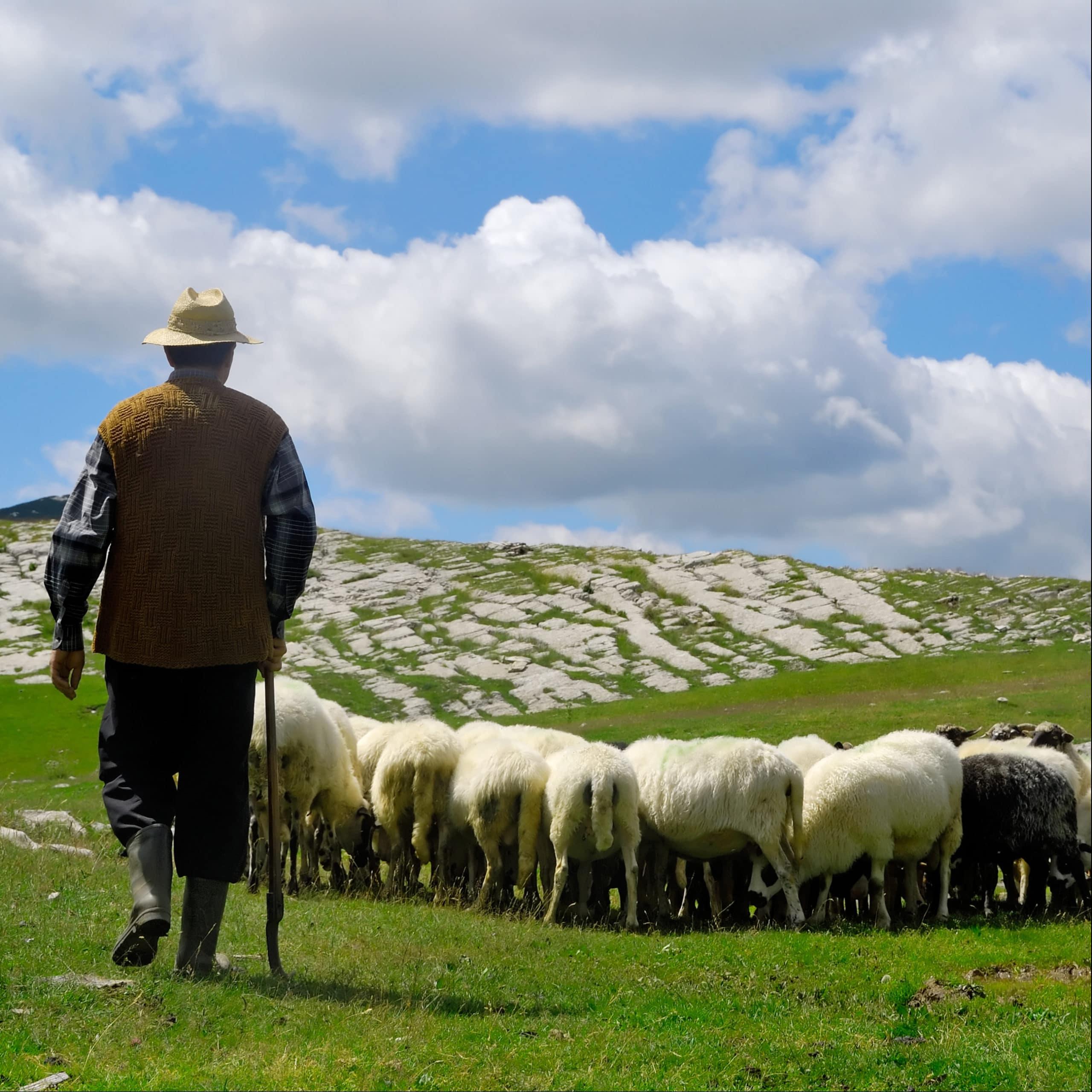 Sheep Herder